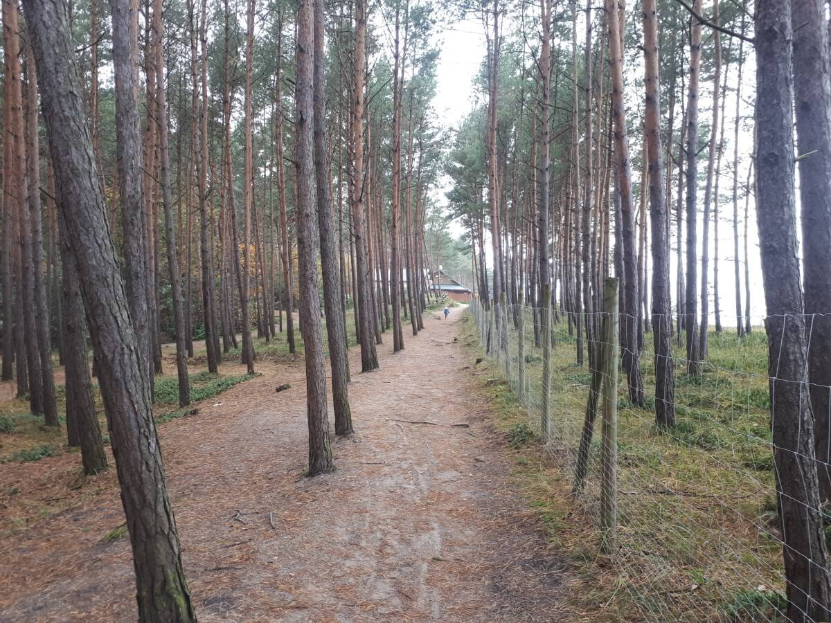 Pine forest by the Baltic Sea